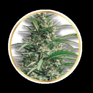 Semilla de Marihuana Dalai Diesel