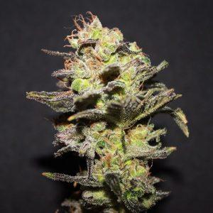 ICER R-KiemFeminizada 3 Semillas de Marihuana